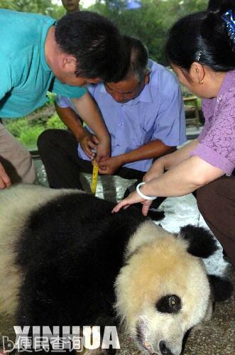 """世界最老的圈养大熊猫""""美美""""病逝"""